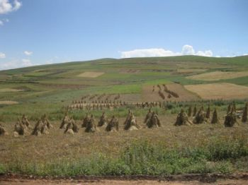 This shows the modern-day barley harvest in Qinghai, farmed at a height of 3,000 meters above sea level. -  Professor Martin Jones, University of Cambridge