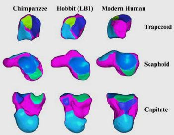 A visual comparison of the hobbit's wrist bone scaled to the same size as those of a chimpanzee and a modern human.  The colors indicated the articular and non-articular bone surfaces.